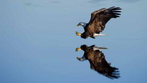 kambeckfilm Adler landet auf Wasser
